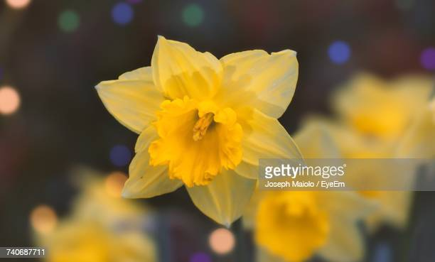 close-up of yellow flower blooming outdoors - st. albans stock pictures, royalty-free photos & images