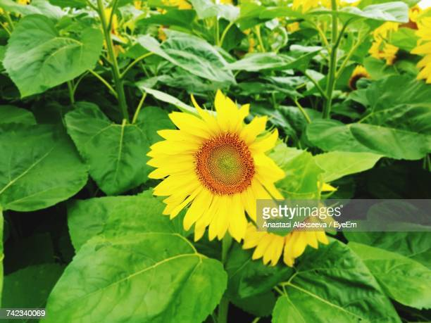 close-up of yellow flower blooming outdoors - anastasi foto e immagini stock