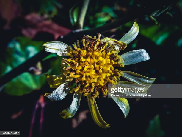 close-up of yellow flower blooming outdoors - koukichi koukichi stock photos and pictures