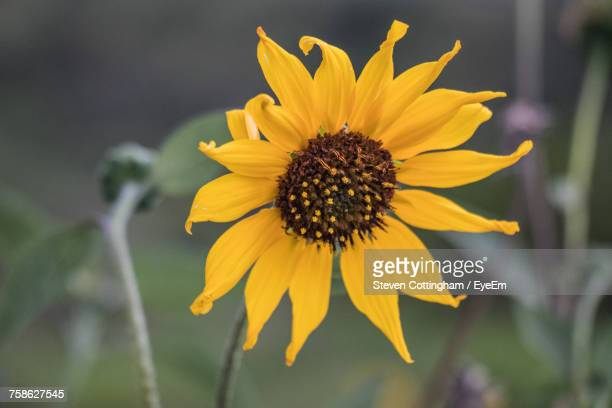 close-up of yellow flower blooming outdoors - steven cottingham stock-fotos und bilder
