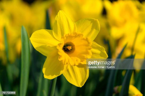 close-up of yellow flower blooming outdoors - daffodils stock photos and pictures