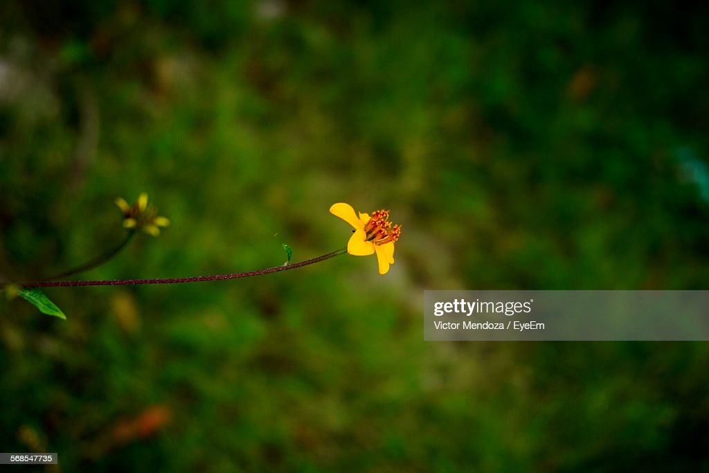 Close-Up Of Yellow Flower Growing In Field : Stock Photo