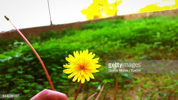 Close-Up Of Yellow Flower Growing On Field