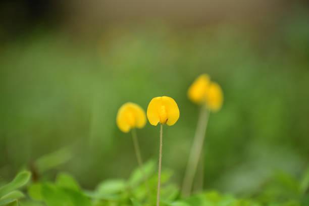 Close-up of yellow flower, Juan de Acosta, Colombia