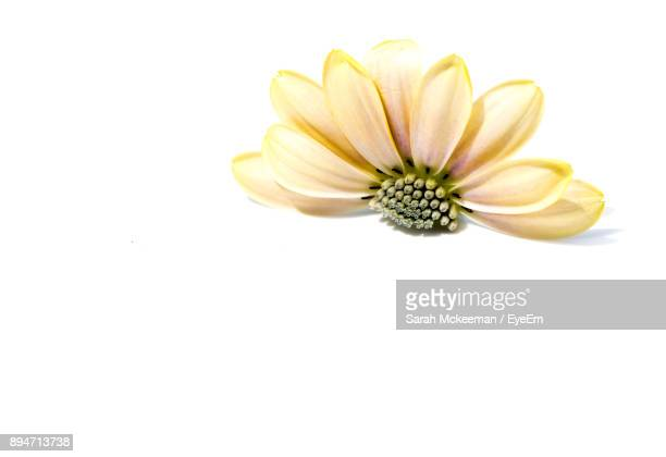 Close-Up Of Yellow Flower Over White Background