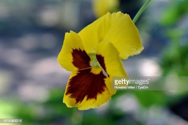 close-up of yellow flower - rowena miller stock photos and pictures