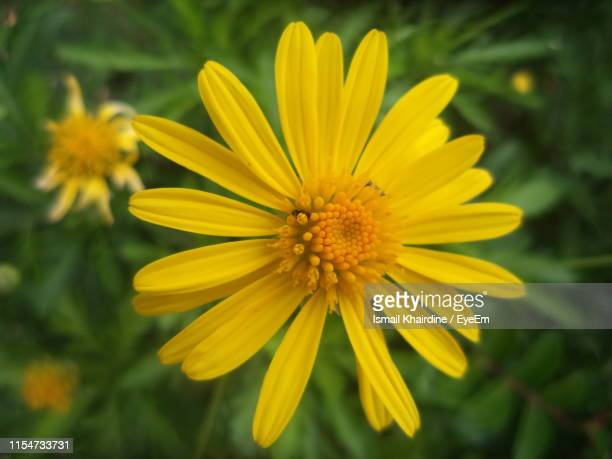 close-up of yellow flower - ismail khairdine stock photos and pictures