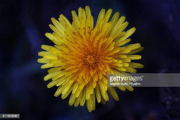 close-up of yellow flower - andres ruffo stock pictures, royalty-free photos & images