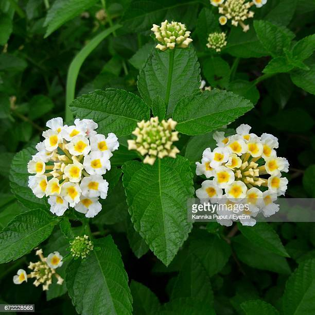close-up of yellow flower - lantana stock pictures, royalty-free photos & images