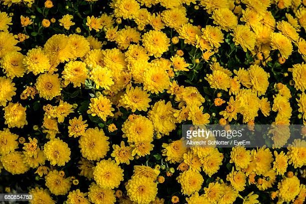 close-up of yellow flower - albrecht schlotter stock photos and pictures