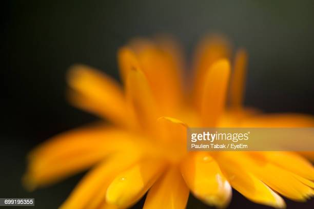 close-up of yellow flower - paulien tabak stock pictures, royalty-free photos & images