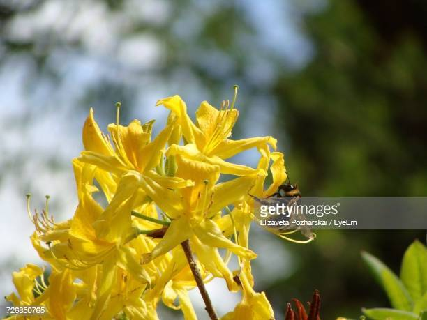 close-up of yellow flower - nizhny novgorod oblast stock photos and pictures