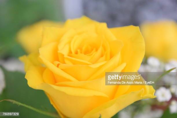 close-up of yellow flower - assis ストックフォトと画像