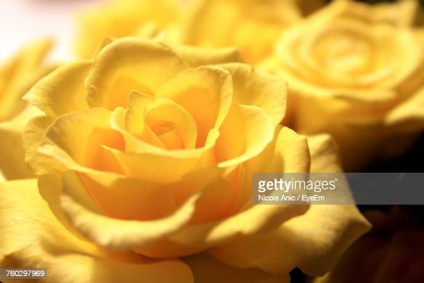 close-up of yellow flower - yellow roses stock photos and pictures