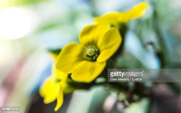 close-up of yellow flower - mertens stock pictures, royalty-free photos & images