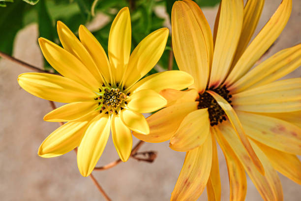 Close-up of yellow flower,Albacete,Spain