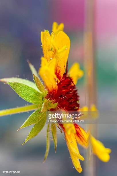 close-up of yellow flower,france - fleur flore stock pictures, royalty-free photos & images