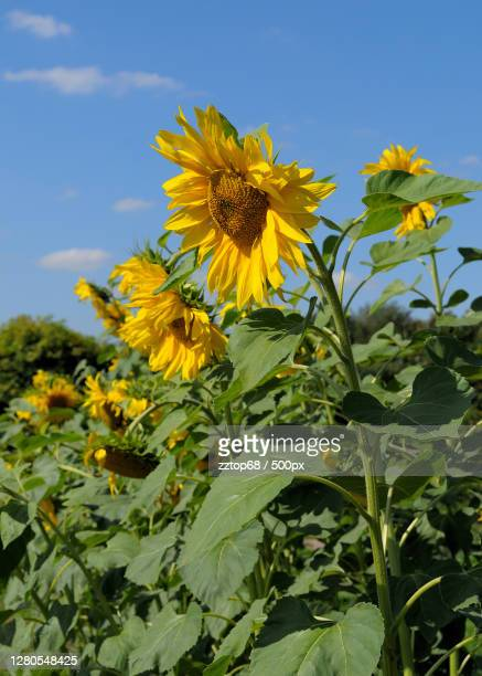 close-up of yellow flowering plant against sky,moskva,moscow,russia - russia stock pictures, royalty-free photos & images