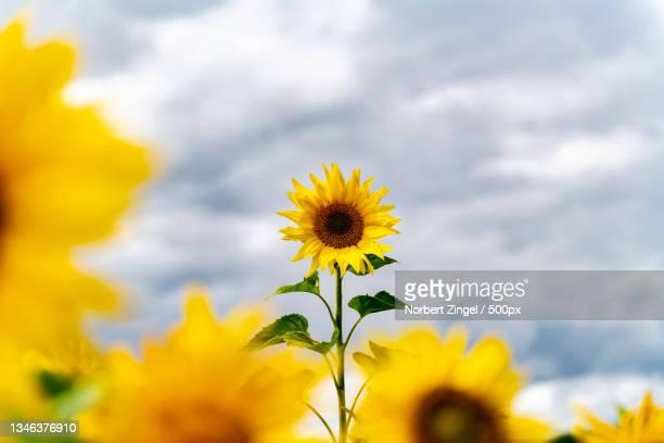 close-up of yellow flowering plant against sky,nieby,germany - norbert zingel stock-fotos und bilder