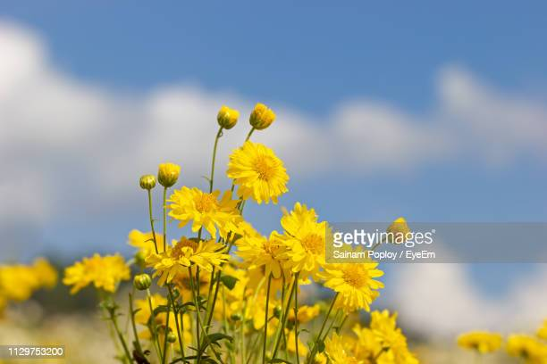 Close-Up Of Yellow Flowering Plant In Field Against Sky