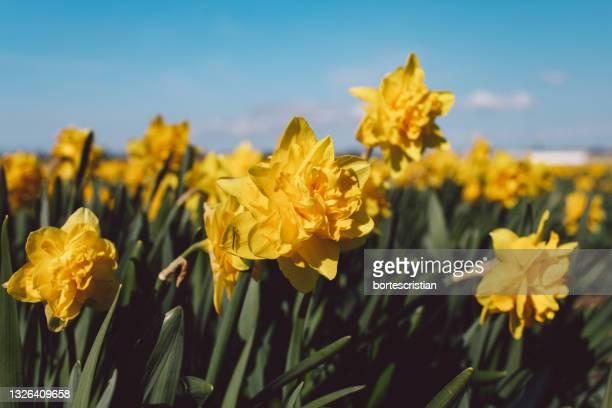 close-up of yellow flowering plant on field against sky - bortes stockfoto's en -beelden