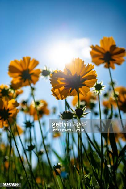close-up of yellow flowering plant on field against sky - jens siewert stock-fotos und bilder