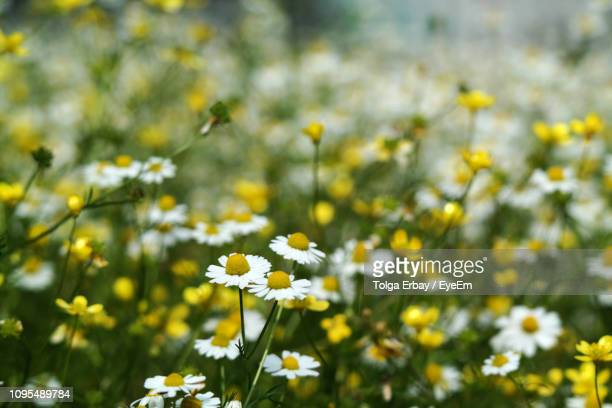 close-up of yellow flowering plant on field - tolga erbay stock photos and pictures