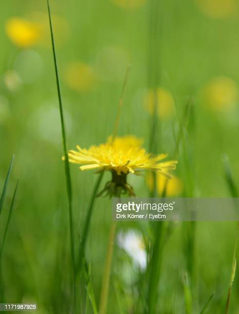 close-up of yellow flowering plant on field - bad homburg stock pictures, royalty-free photos & images