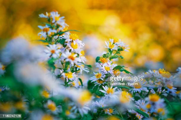 close-up of yellow flowering plant on field - wildflower stock pictures, royalty-free photos & images