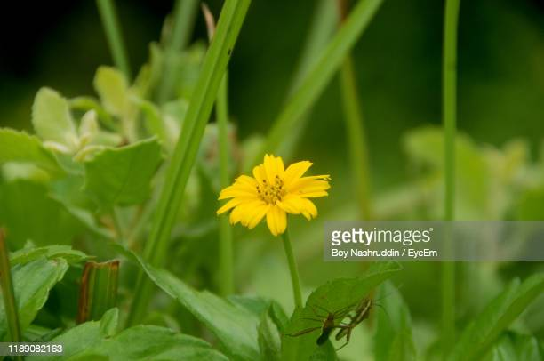 close-up of yellow flowering plant on field - aceh stock pictures, royalty-free photos & images