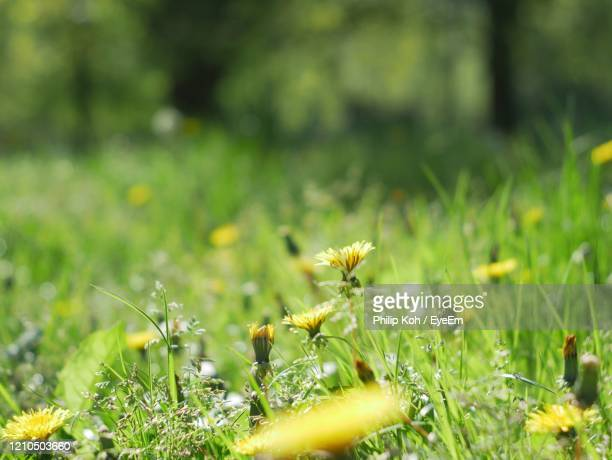 close-up of yellow flowering plant on field - clapham common stock pictures, royalty-free photos & images