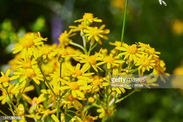 close-up of yellow flowering plant on field - klein stock pictures, royalty-free photos & images