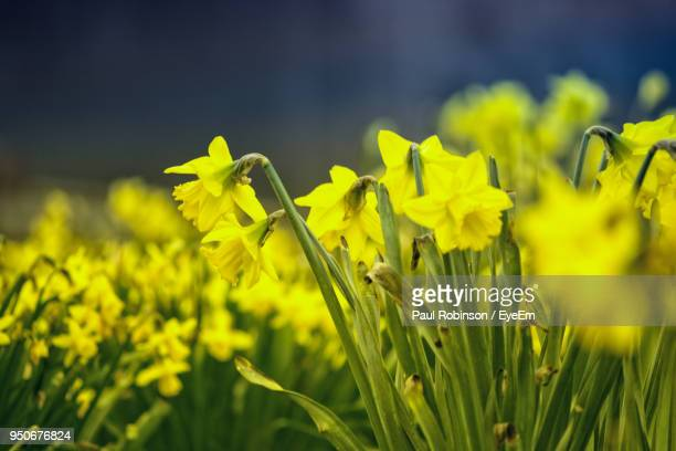 close-up of yellow flowering plant on field - field of daffodils stock pictures, royalty-free photos & images