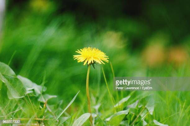 close-up of yellow flowering plant on field - dandelion leaf stock pictures, royalty-free photos & images