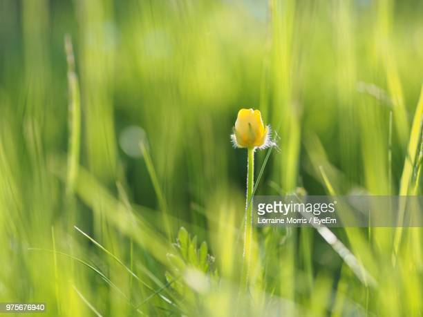 close-up of yellow flowering plant on field - buttercup stock pictures, royalty-free photos & images