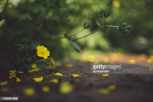 close-up of yellow flowering plant on land - bortes bildbanksfoton och bilder
