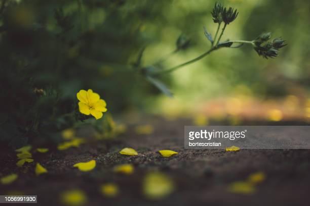 close-up of yellow flowering plant on land - bortes fotografías e imágenes de stock
