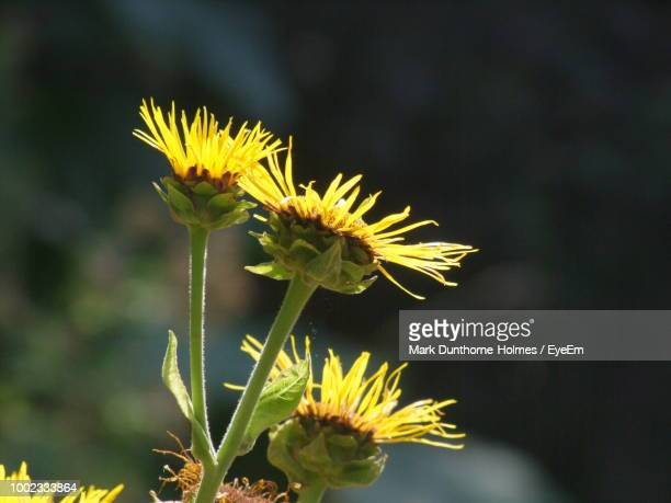 close-up of yellow flowering plant - mark's stock pictures, royalty-free photos & images