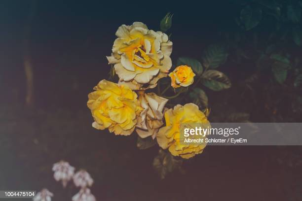 close-up of yellow flowering plant - albrecht schlotter stock photos and pictures
