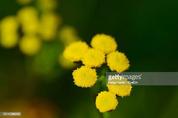 close-up of yellow flowering plant - tansy stock pictures, royalty-free photos & images