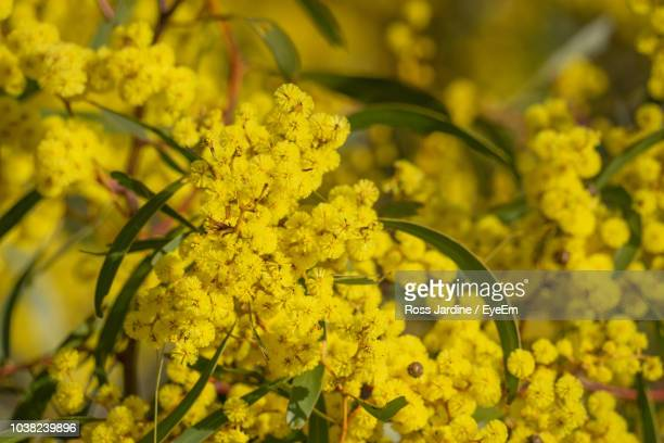 close-up of yellow flowering plant - bendigo stock pictures, royalty-free photos & images