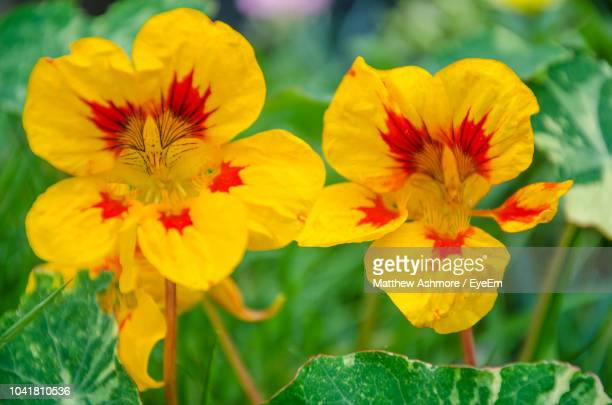 close-up of yellow flowering plant - nasturtium stock pictures, royalty-free photos & images