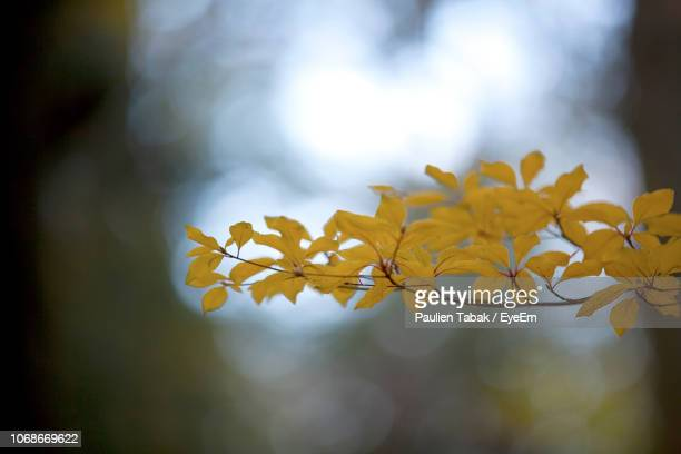 close-up of yellow flowering plant - paulien tabak stock-fotos und bilder