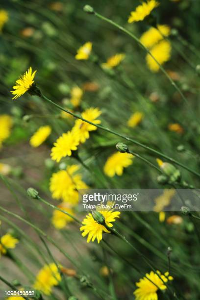 close-up of yellow flowering plant - tolga erbay stock photos and pictures