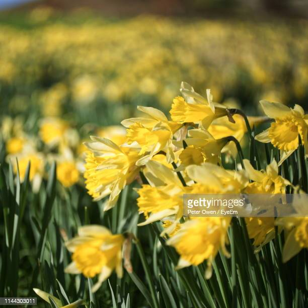 close-up of yellow flowering plant - field of daffodils stock pictures, royalty-free photos & images