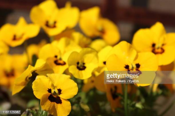 close-up of yellow flowering plant - pansy stock pictures, royalty-free photos & images