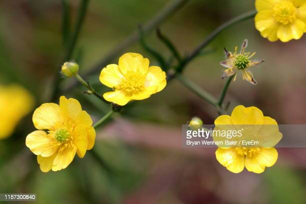 close-up of yellow flowering plant - buttercup stock pictures, royalty-free photos & images