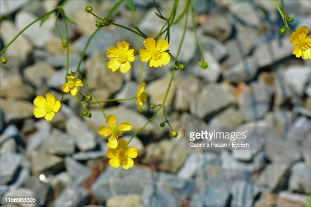 close-up of yellow flowering plant - gabriela stock pictures, royalty-free photos & images