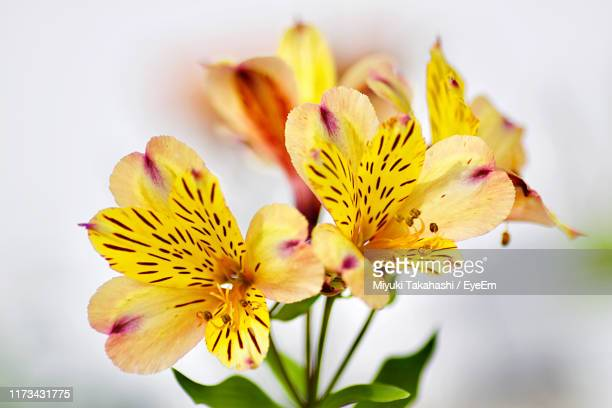 close-up of yellow flowering plant - alstroemeria stock pictures, royalty-free photos & images