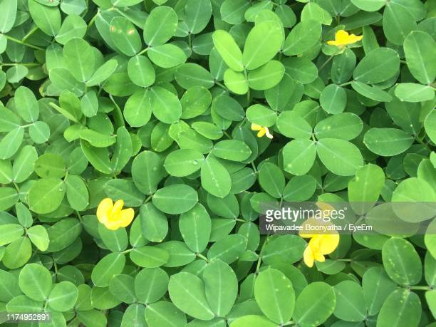 close-up of yellow flowering plant - wipavadee stock photos and pictures